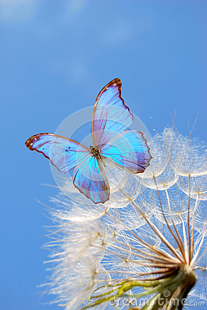 Blue butterfly on dandelion