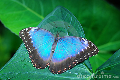Blue butterfly on a leaf