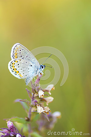 Free Blue Butterfly On A Stem Royalty Free Stock Image - 92960736