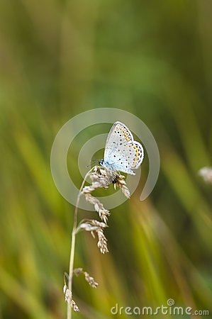 Free Blue Butterfly On A Stem Royalty Free Stock Photos - 92964838