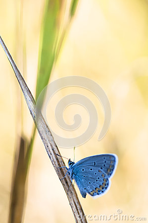 Free Blue Butterfly On A Stem Royalty Free Stock Photos - 92964898