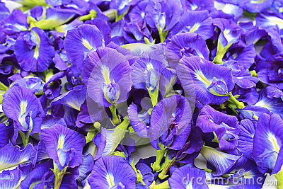 Blue Butterfly Pea Flowers