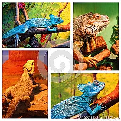 Blue chameleon, Iguana, Bearded agama