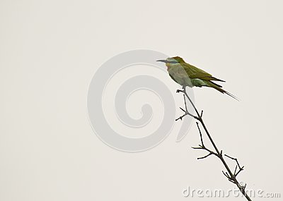 The Blue-cheeked Bee-eater
