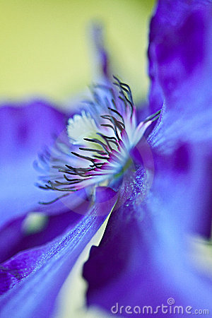 Free Blue Clematis Royalty Free Stock Images - 19874559