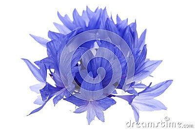 Blue cornflower macro