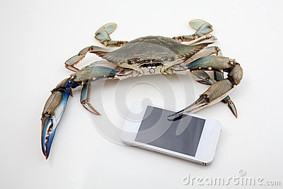 Blue crab holding mobile phone