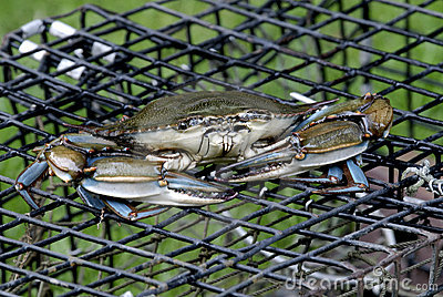Blue Crab on lobster pot