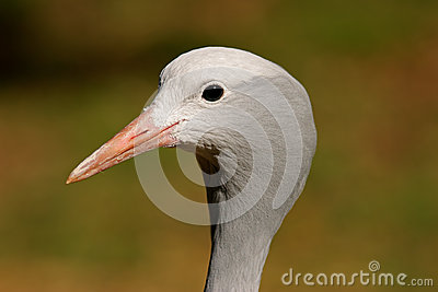 Blue crane portrait