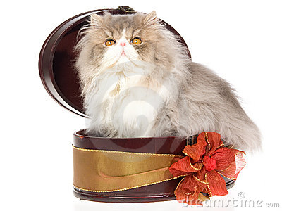 Blue cream Persian inside gift box