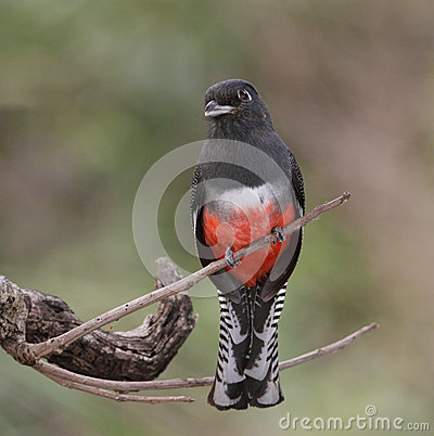 Blue-Crowned Female Trogon