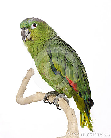 Blue Crowned Mealy Amazon Parrot