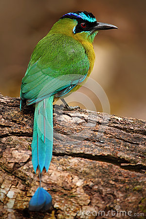 Free Blue-crowned Motmot, Momotus Momota, Portrait Of Nice Green And Yellow Bird, Wild Nature, Animal In The Nature Forest Habitat, Cos Royalty Free Stock Image - 88565276