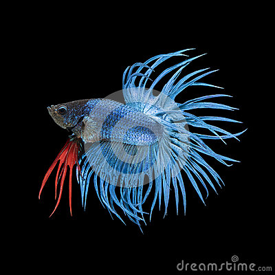 Blue crowntail betta fish images for Betta fish life expectancy