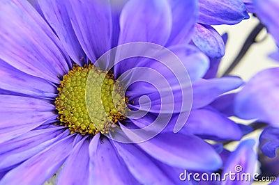 Blue Daisy Closeup