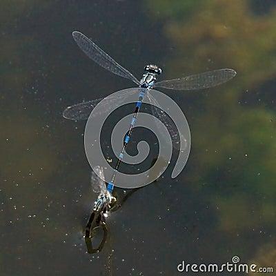 Free Blue Damselfly - Enallagma Cyathigerm Stock Image - 64601031