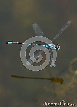 Free Blue Damselfly - Enallagma Cyathigerm Stock Images - 64604994