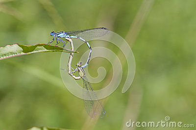 Blue Damselfly mating