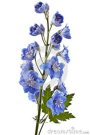 Free Blue Delphinium Flower Stock Images - 83436304
