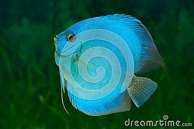 Blue Discus in aquarium