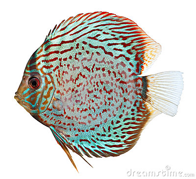 Free Blue Discus Fish Stock Image - 24902881