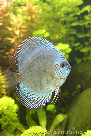 Blue Discus Fish