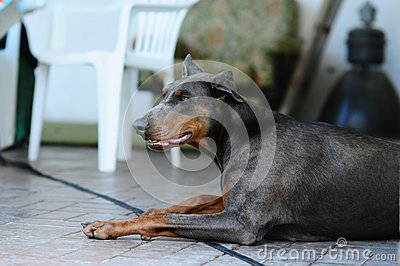 Blue dobermann