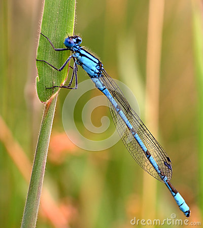 Free Blue Dragon Fly Royalty Free Stock Photos - 28081958