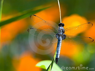 Blue dragon fly - Common skimmer