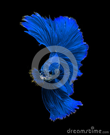 Free Blue Dragon Siamese Fighting Fish, Betta Fish Isolated On Black Stock Photos - 68868183