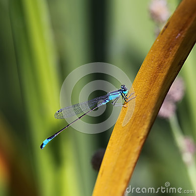 Free Blue Dragonfly Stock Image - 45822501