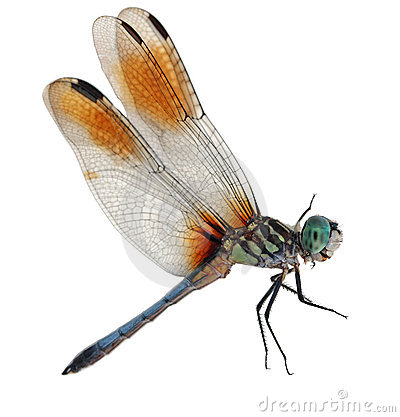 Free Blue Dragonfly Royalty Free Stock Photography - 6080467