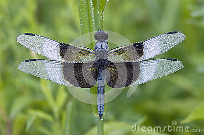 Blue Dragonfly covered with dew
