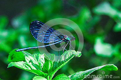 Blue dragonfly on a green plant in summer