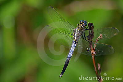 Blue dragonfly resting on a branch