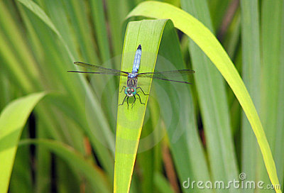 Blue Dragonfly on rush