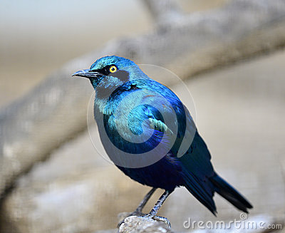 Blue-eared Glossy Starling Stock Photo