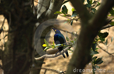 Blue-eared Starling