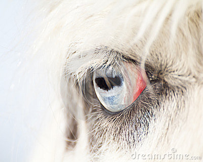 Blue Eye of a Llama Close Up