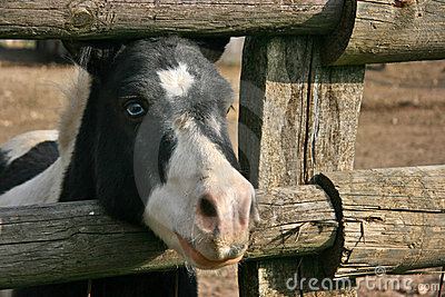 Blue eyed black and white pony