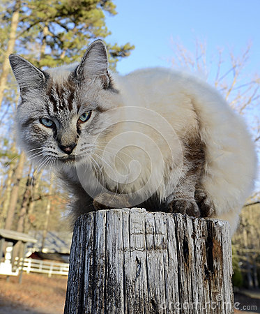 Free Blue Eyed Cat On Fence Post Royalty Free Stock Photography - 35704087