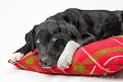 Blue eyed dog on pillow