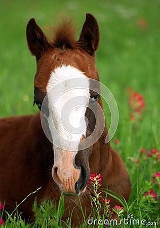 Free Blue Eyed Foal In Orange Wildflowers Stock Photo - 215280
