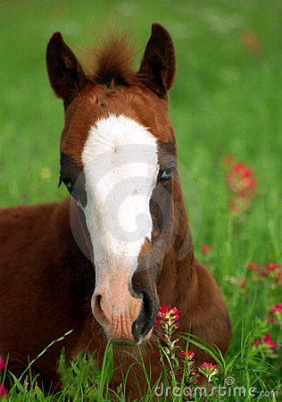Blue Eyed Foal in Orange Wildflowers