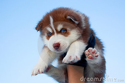 Blue-eyed husky puppy