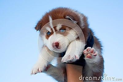 Blue-eyed husky puppy
