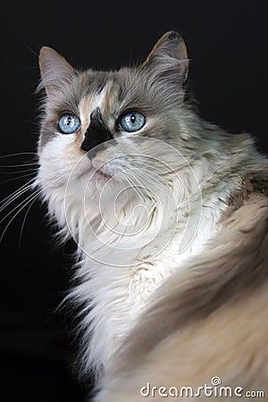 Free Blue Eyed Kitty Royalty Free Stock Image - 6535106
