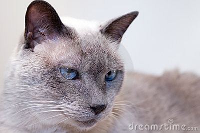 Blue-Eyed Siamese Cat