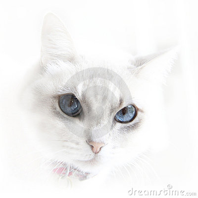 White cat with blue eyes