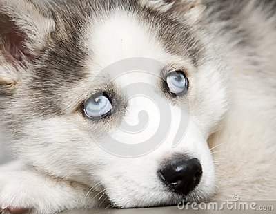 blue eyes of cute siberian husky puppy